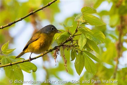 Nashville Warbler, adult female