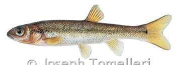 Pearl Dace Color Plate