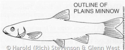 Plains Minnow Black-and-White Plate