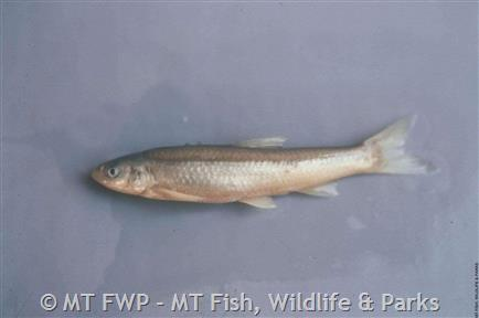 Plains Minnow Photograph
