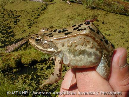 Columbia Spotted Frog - Montana Field Guide