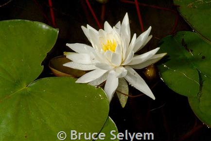 American Water Lily Montana Field Guide