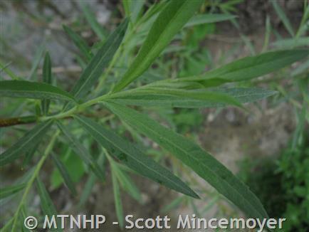 Sandbar Willow - Montana Field Guide