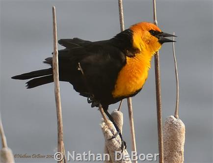 yellow headed blackbird montana field guide