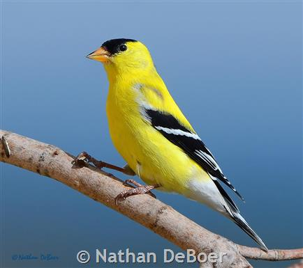 american goldfinch montana field guide