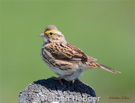 Savannah Sparrow - Montana Field Guide