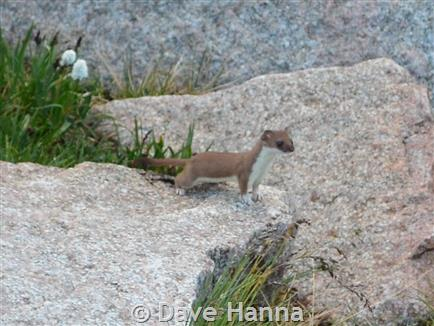 Baby short tailed weasel - photo#53