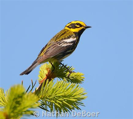 Townsend`s Warbler, male