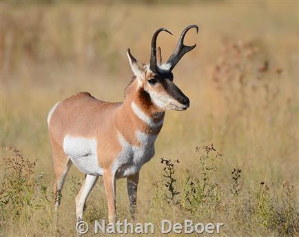 American Antelope Horns
