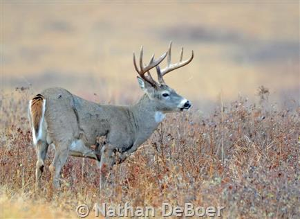 White-tailed Deer, buck
