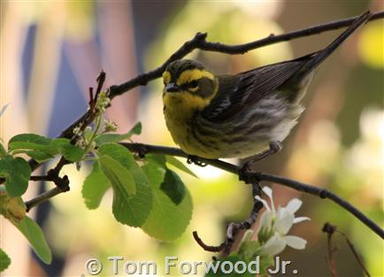 Townsend`s Warbler, female