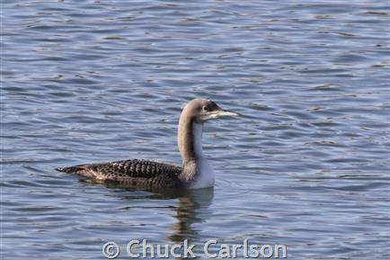 Pacific Loon, juvenile