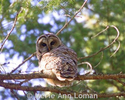 Barred Owl - Montana Field Guide