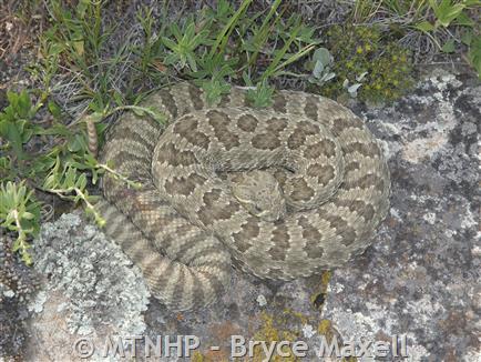 Prairie Rattlesnake - Montana Field Guide