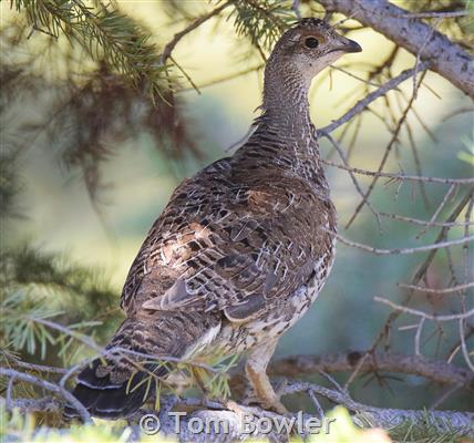 aeffeb59b1b70 Ruffed Grouse - Montana Field Guide