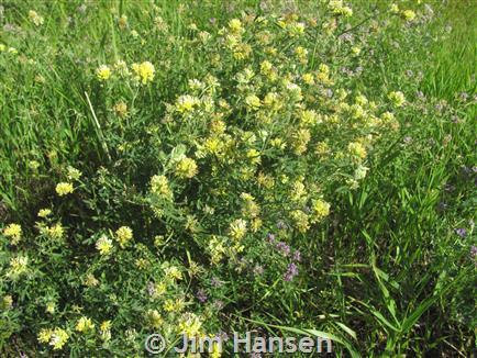 Yellow alfalfa montana field guide mightylinksfo