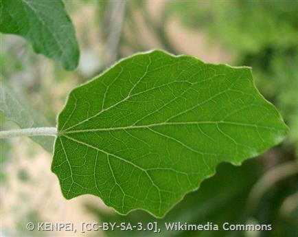 White Poplar - Montana Field Guide