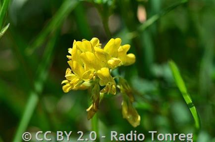 Yellow Alfalfa Montana Field Guide