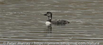 Loons And Turtles And Cranes Oh My >> Common Loon Montana Field Guide