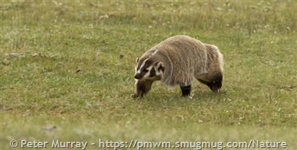 Badger - Montana Field Guide