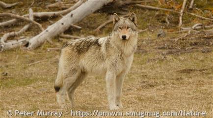 Gray Wolf - Montana Field Guide