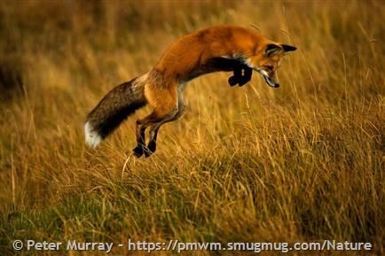 Red Fox - Montana Field Guide