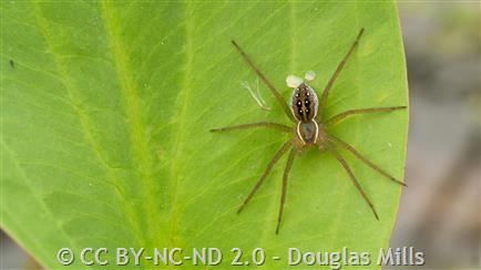 Sixspotted Fishing Spider Montana Field Guide