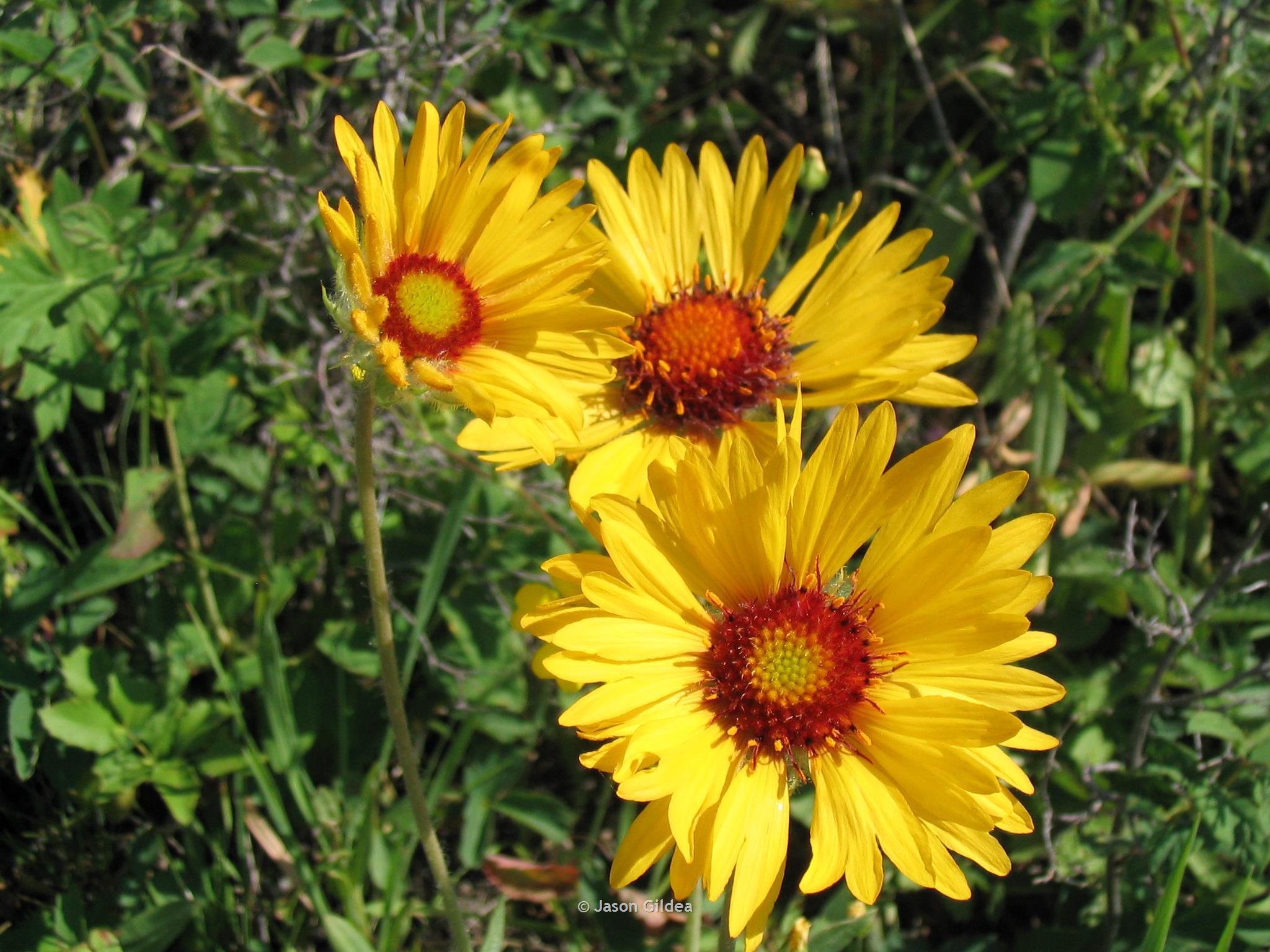 Blanketflower montana field guide