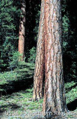 Old-growth ponderosa pine is found along the valley floor and lower slopes. Public Domain Image provided by the U.S. Forest Service.