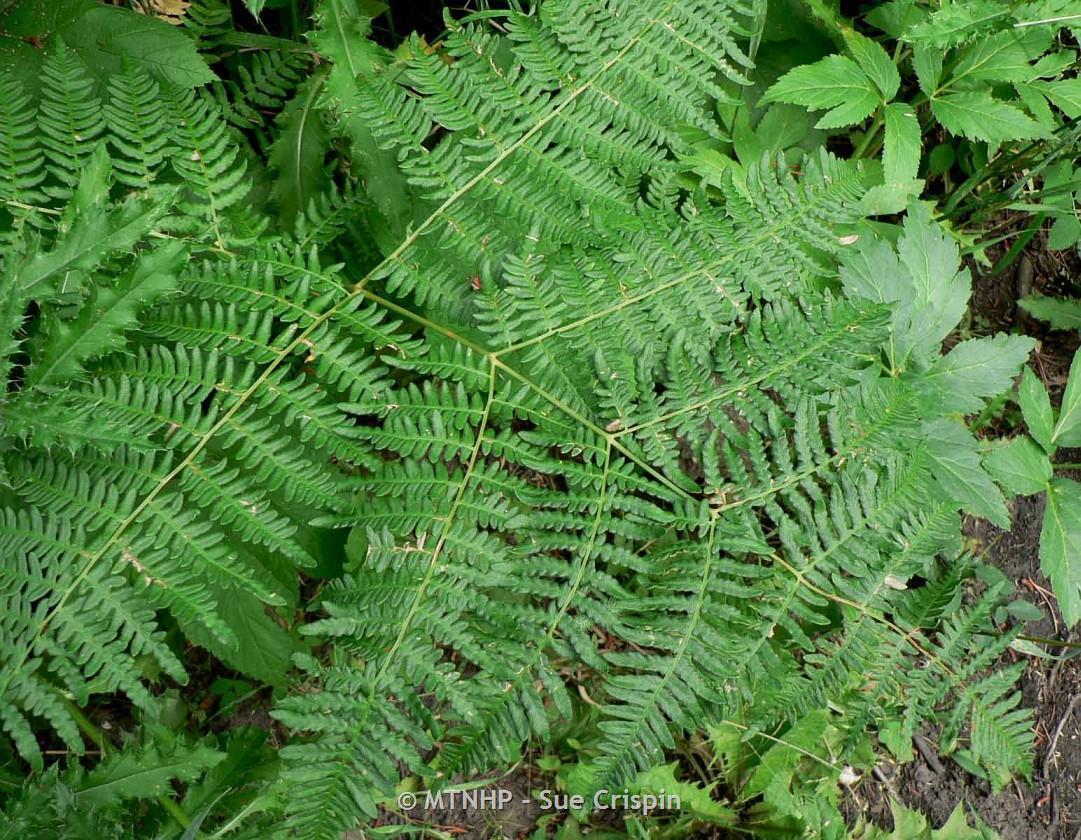 names of ferns. 1 / 2 names of ferns