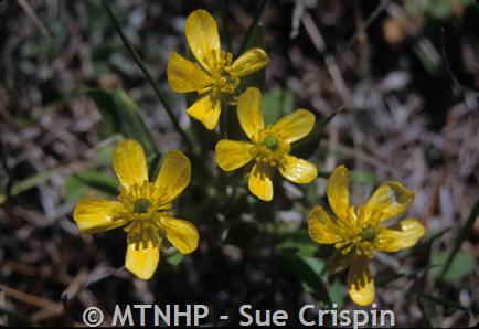 Small yellow buttercup montana field guide small yellow buttercup ranunculus gmelinii 1 4 mightylinksfo