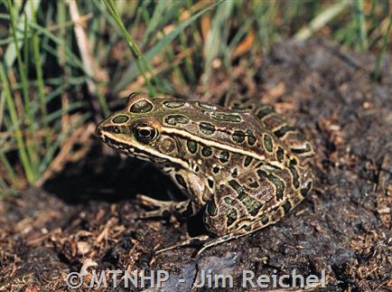 Northern leopard frog eating - photo#16