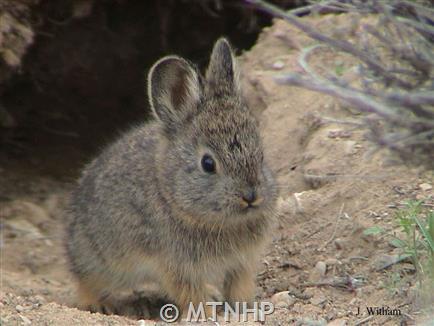 Pygmy Rabbit - Montana Field Guide