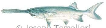 Paddlefish Color Plate