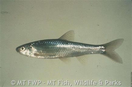 Western Silvery Minnow Photograph