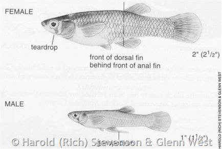 Western mosquitofish montana field guide for Mosquito fish facts