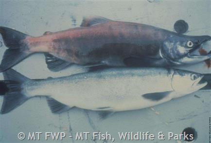 Kokanee Salmon Montana Field Guide