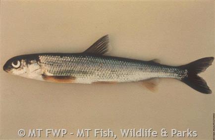 Pygmy Whitefish - Montana Field Guide