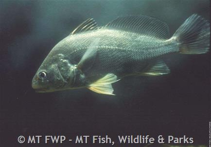 Freshwater Drum Photograph