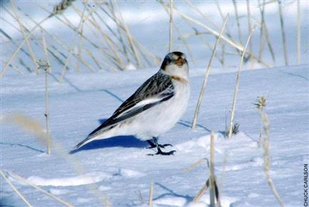 Snow Bunting, male nonbreeding