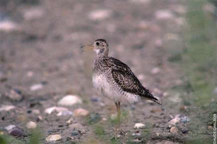 Upland Sandpiper, Standing on Pebbles