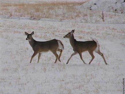 White-tailed Deer, does