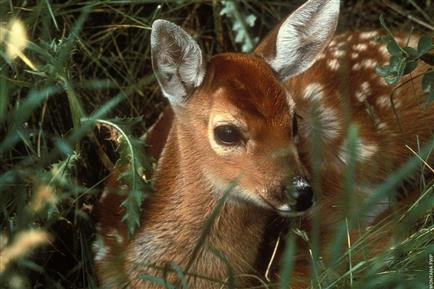Whitetailed Deer, fawn