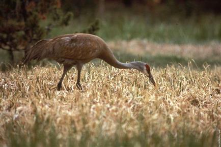 Sandhill Crane - Montana Field Guide
