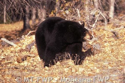 Black Bear Montana Field Guide