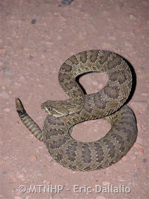 a2891dcca0 Prairie Rattlesnake - Montana Field Guide